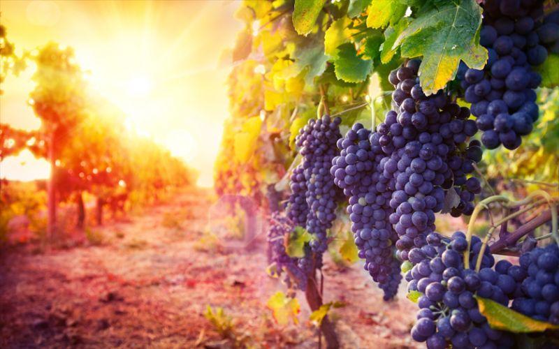 Ege Bölgesi Şarap Tadım Turu